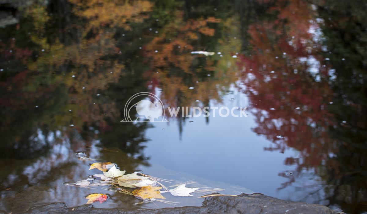 Tree and Leaf Reflections in Water During Fall/Autmn Justin Dutcher