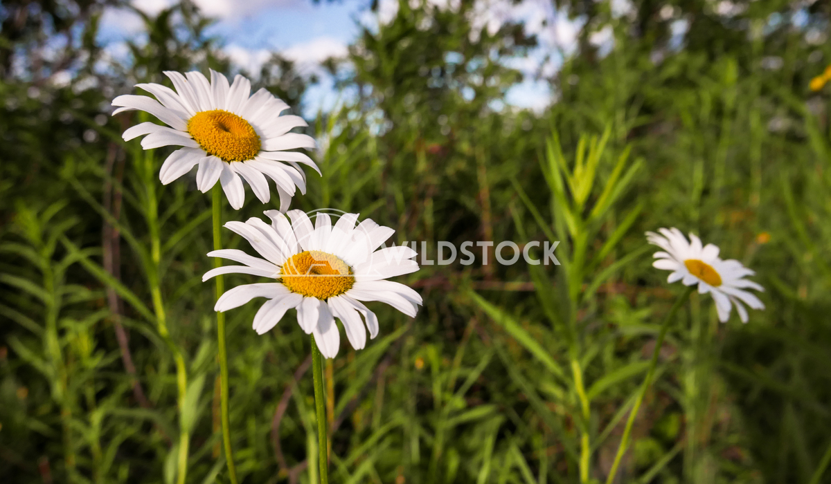 White Wildflowers in Green Vegetation, Daisys. Justin Dutcher