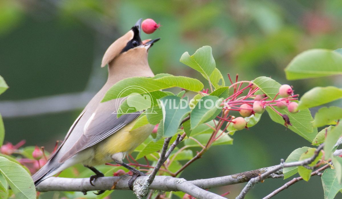 Cedar Waxwing Catching Berry in Mouth Justin Dutcher