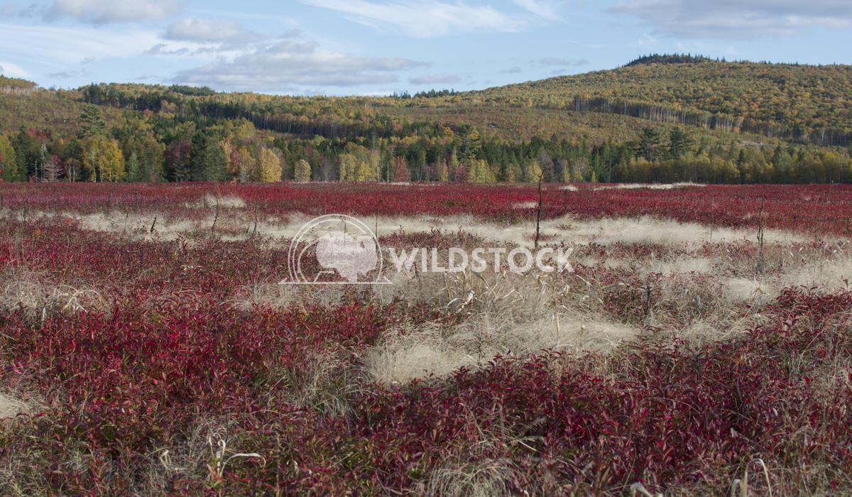 Red Blueberry Field and Tree Covered Hills During Fall Justin Dutcher