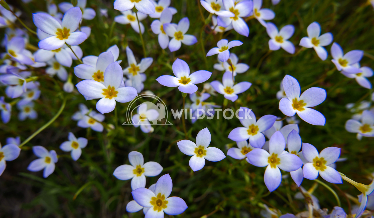 Azure Bluets, Patch of Wildflowers Justin Dutcher