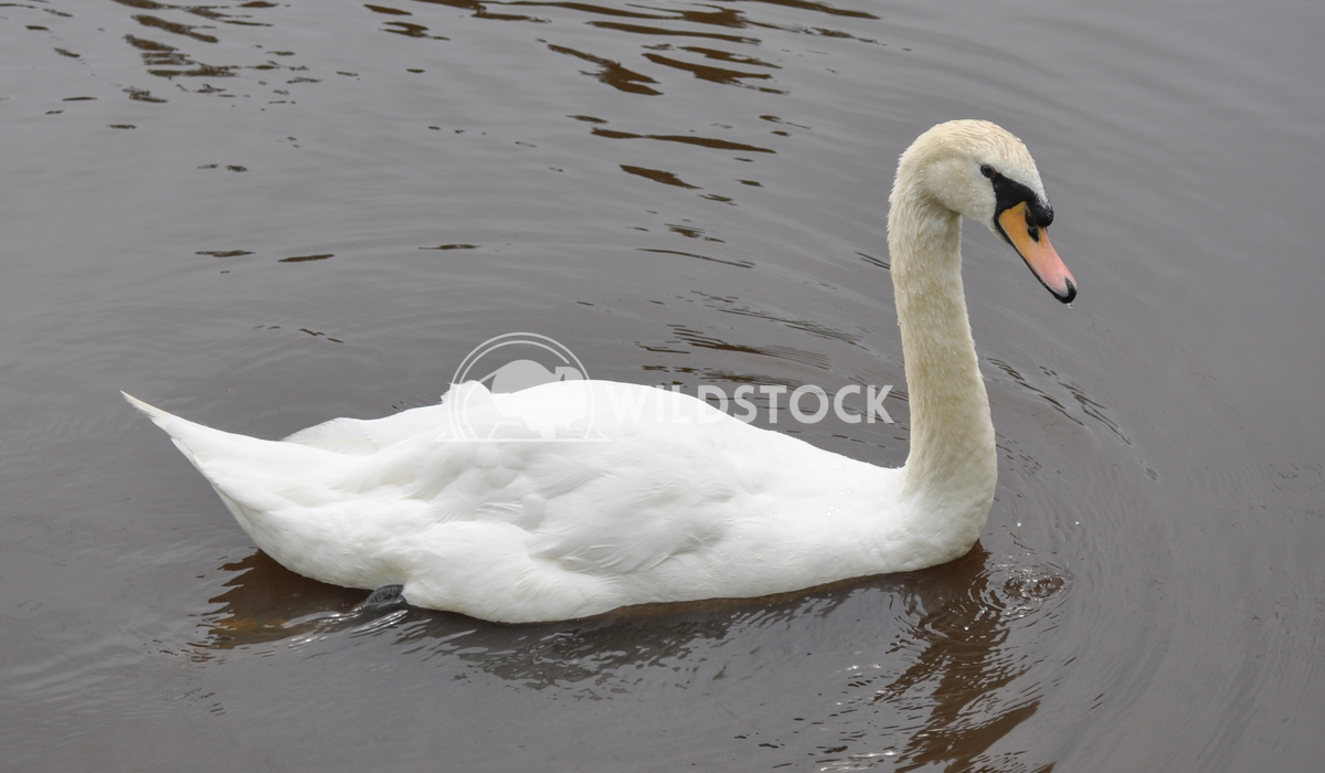 White Swan Swimmin in Pond Justin Dutcher