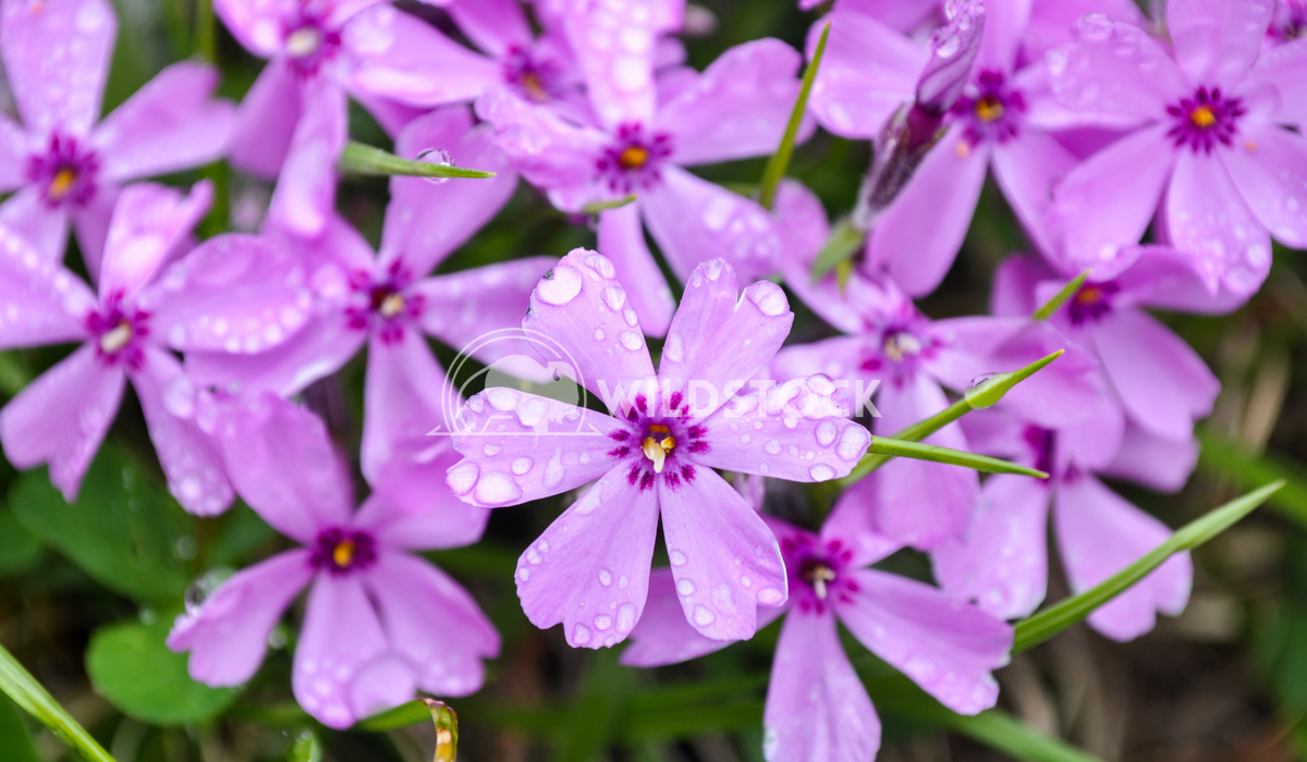 Pink Creeping Phlox, Wildflower Patch Justin Dutcher