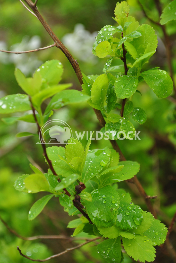 Water Drops on Leaves of Plant Justin Dutcher