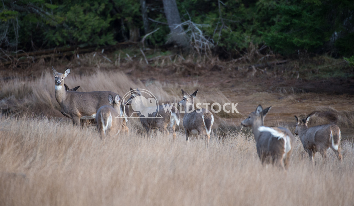 Group of White Tailed Deer in Field Justin Dutcher
