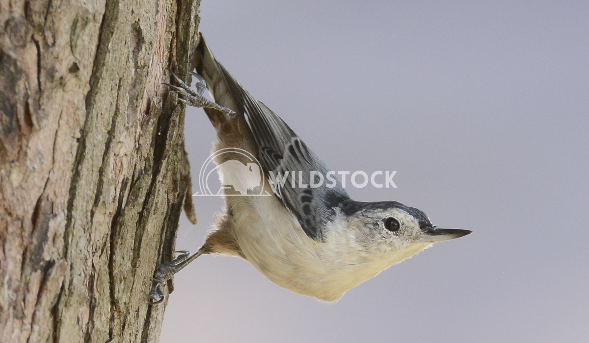 White Breasted Nuthatch Posing on Tree Trunk Justin Dutcher