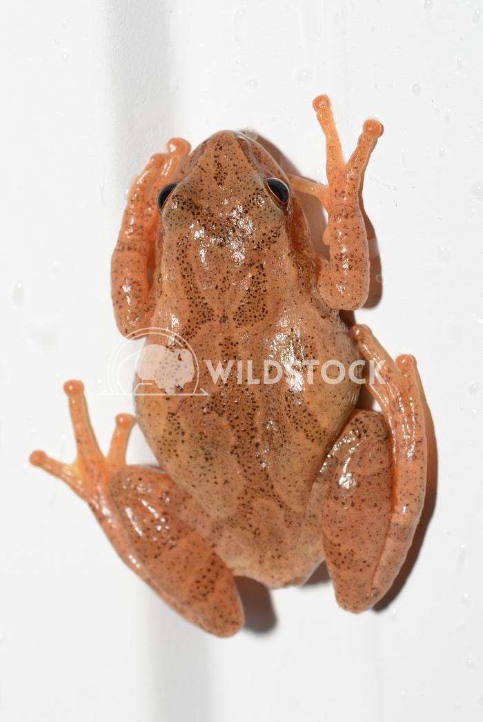 Spring Peeper Frog Justin Dutcher