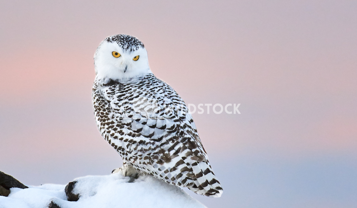 Snowy Owl Perched on Snow Covered Rock During Sunset Justin Dutcher