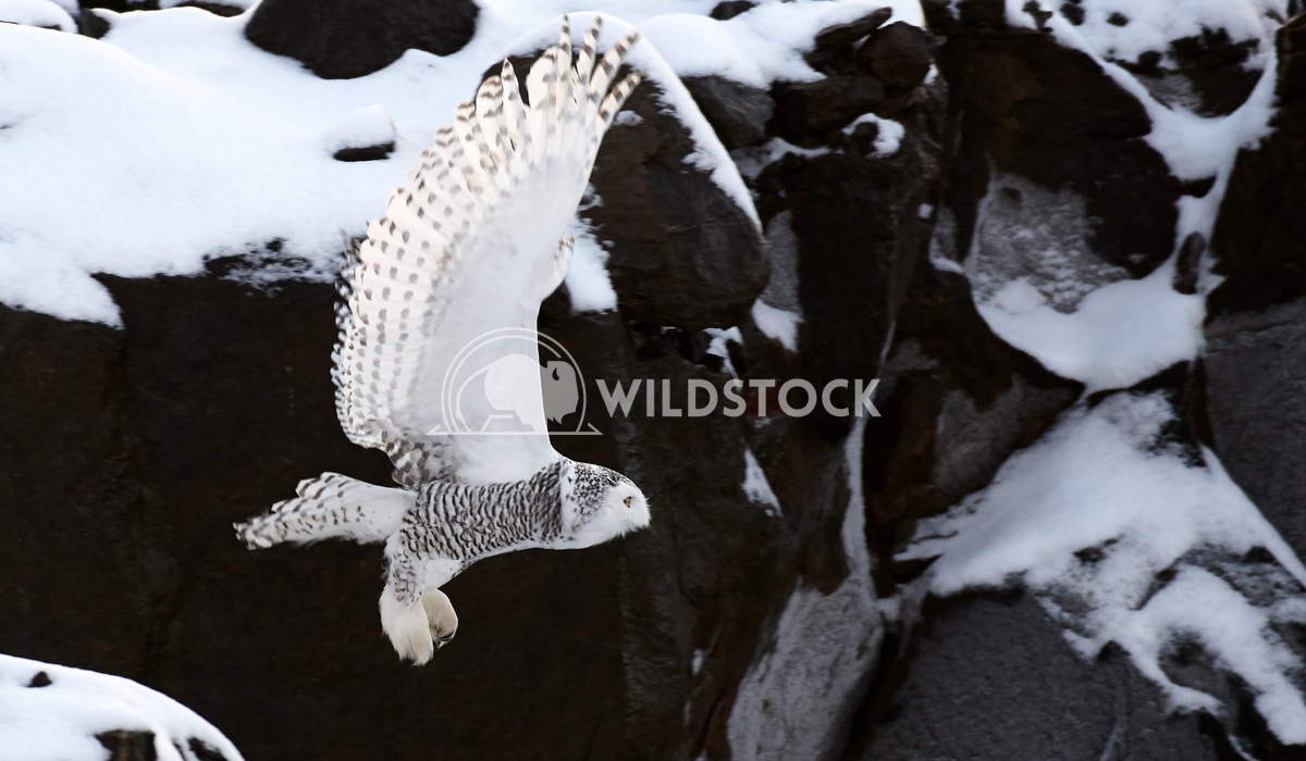 Snowy Owl in Flight Justin Dutcher