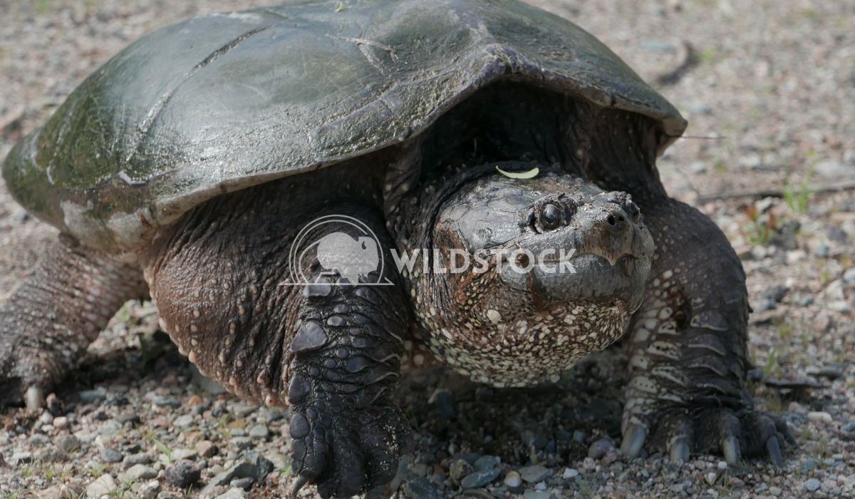 Large Snapping Turtle  Justin Dutcher