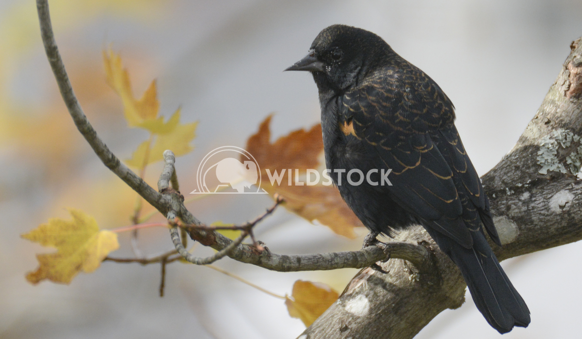 Red Winged Blackbird with Fall Leaves (Immature Male) Justin Dutcher