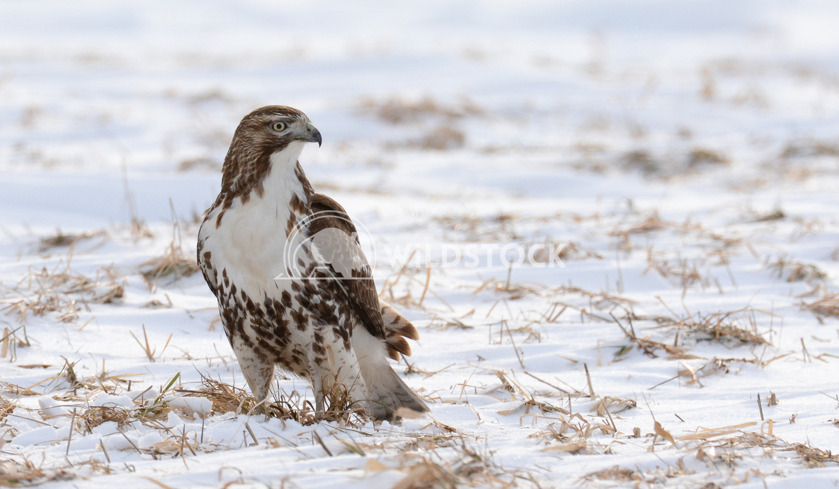 Red Tailed Hawk Standing in Snowy Field  Justin Dutcher