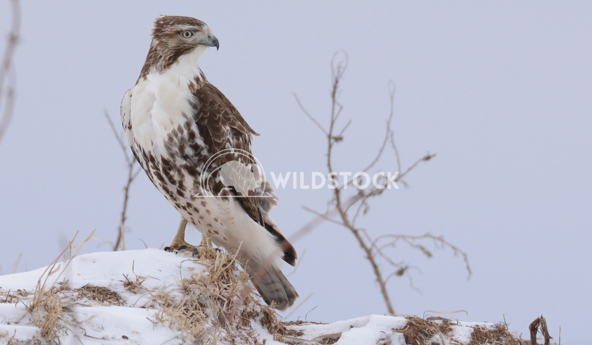 Red Tailed Hawk Standing in Snow Justin Dutcher