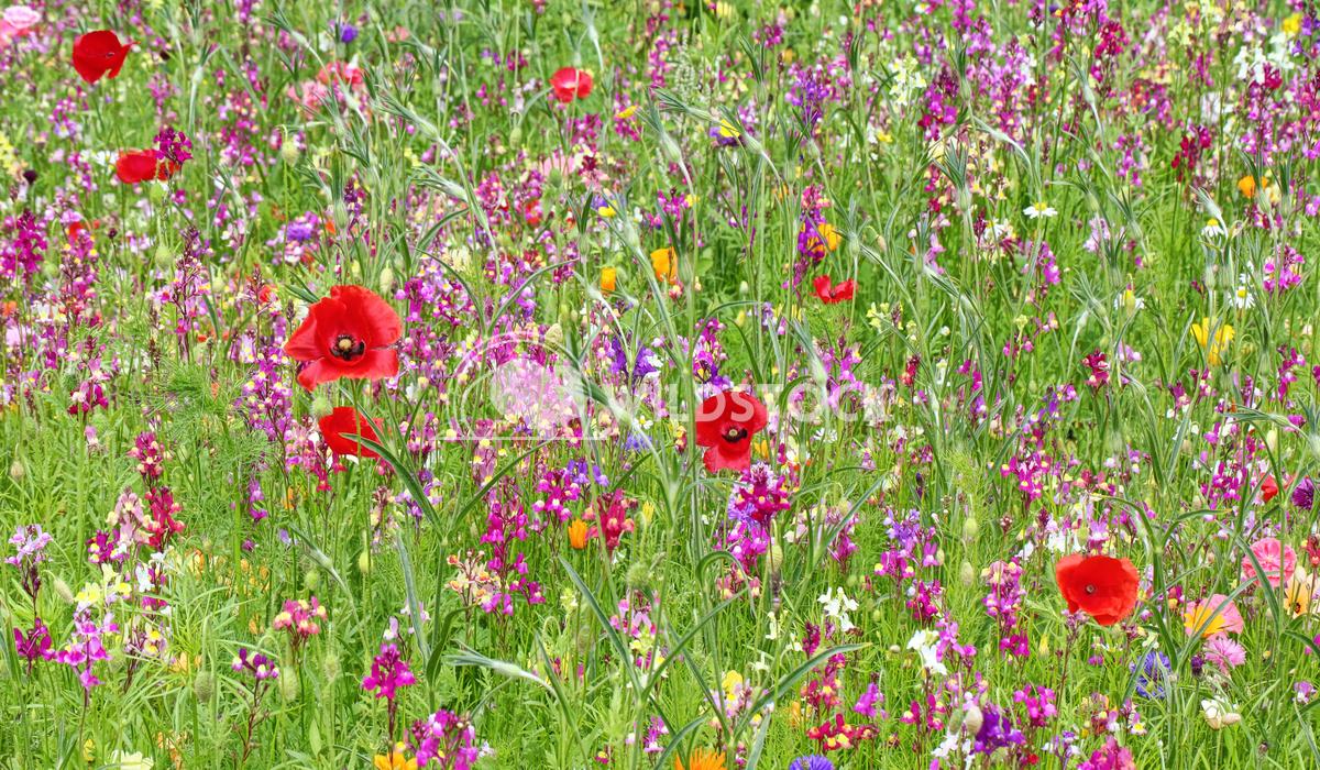 Wild flower field 1 Jane Hewitt Wild flower field