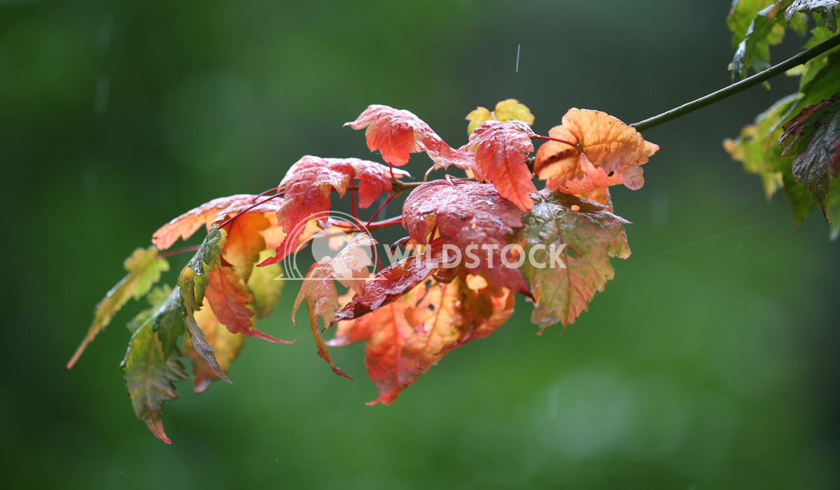 Single branch of Autumn leaves Jane Hewitt Single branch of Autumn leaves in the rain
