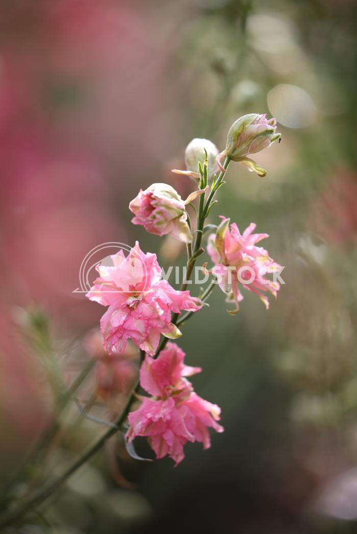 Pink Delphinium Jane Hewitt Pink Delphinium