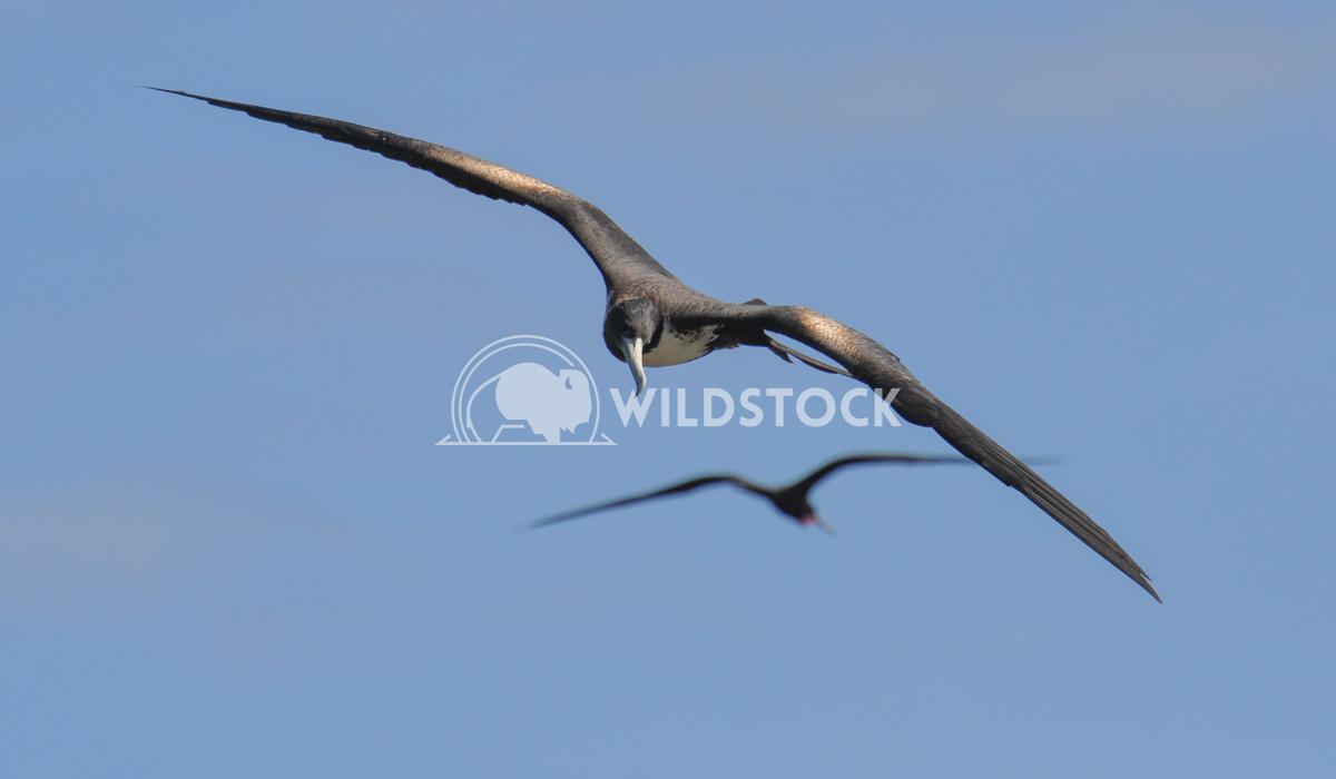 Magnificient Frigatebirds (Fregata magnificens) in Flight Justin Dutcher Frigate Bird Colony, Codrington Lagoon.