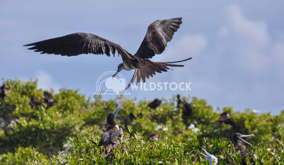 Magnificient Frigatebird (Fregata magnificens) in Flight, Landing Justin Dutcher Frigate Bird Colony, Codrington Lagoon.
