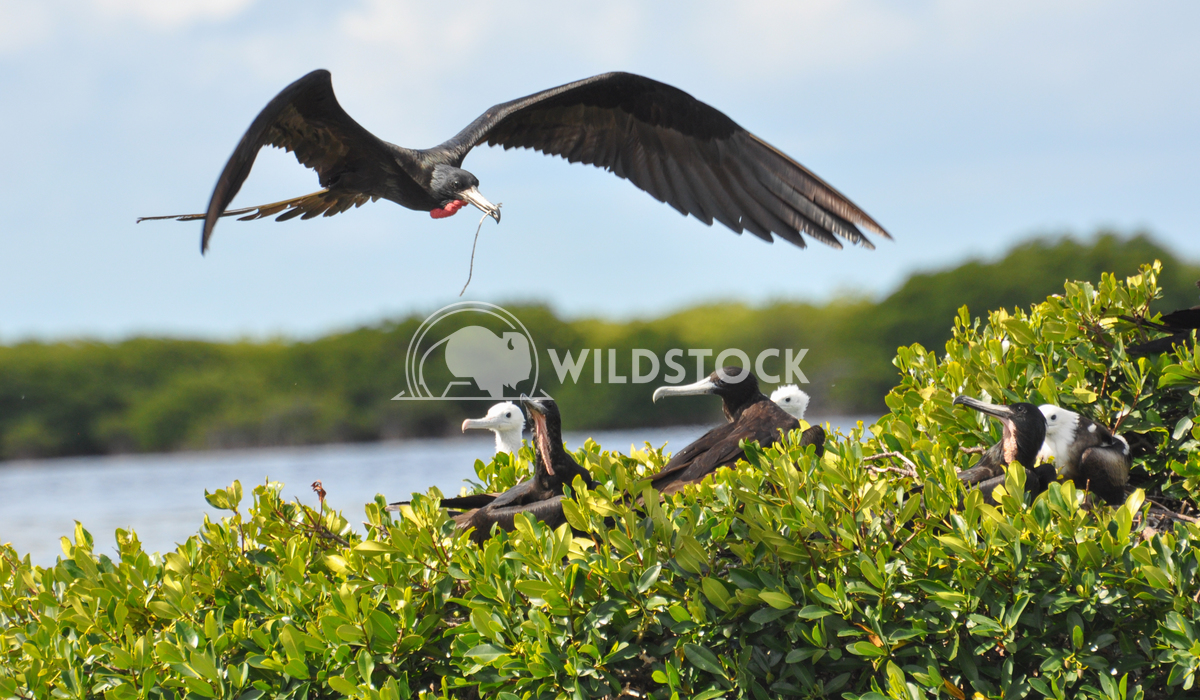 Magnificient Frigatebird (Fregata magnificens) Landing with Stick, Nest Building Justin Dutcher Frigate Bird Colony, Cod