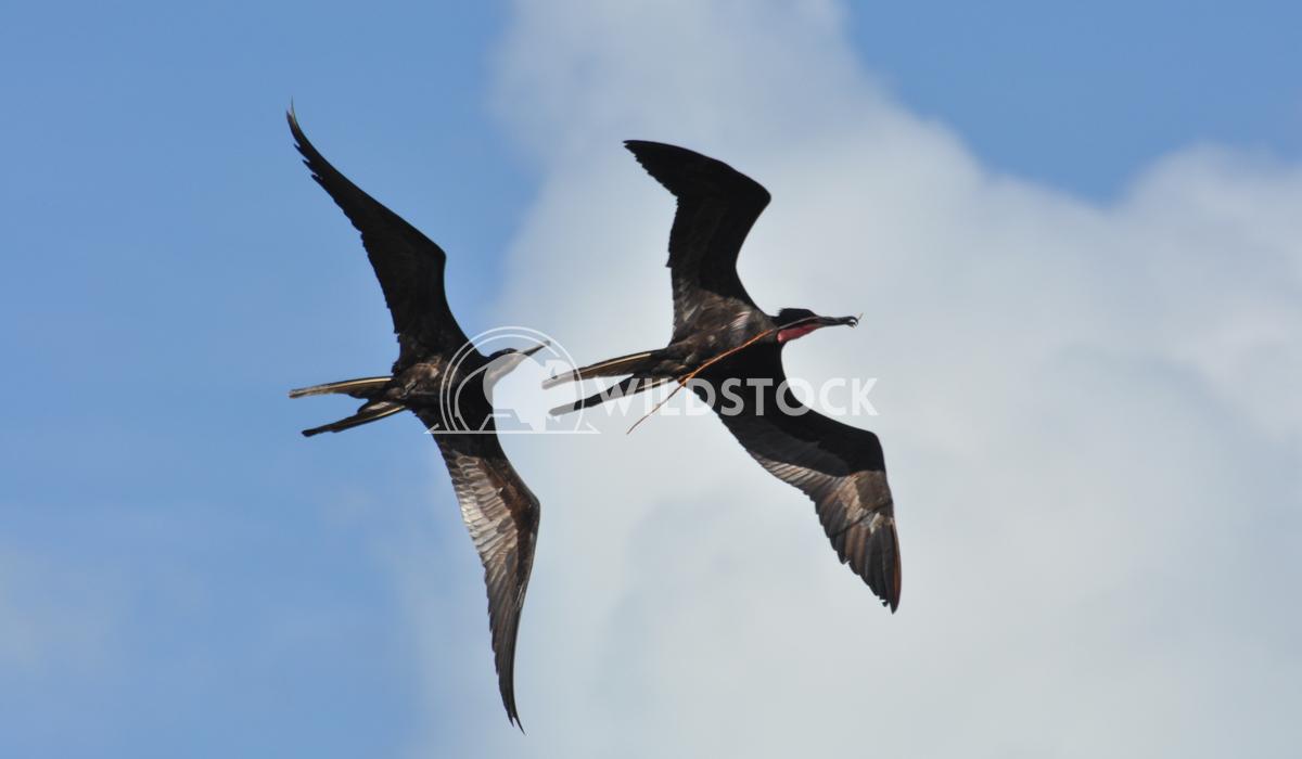 Magnificient Frigatebirds (Fregata magnificens) in Flight, Fighting Over Stick Justin Dutcher Frigate Bird Colony, Codri