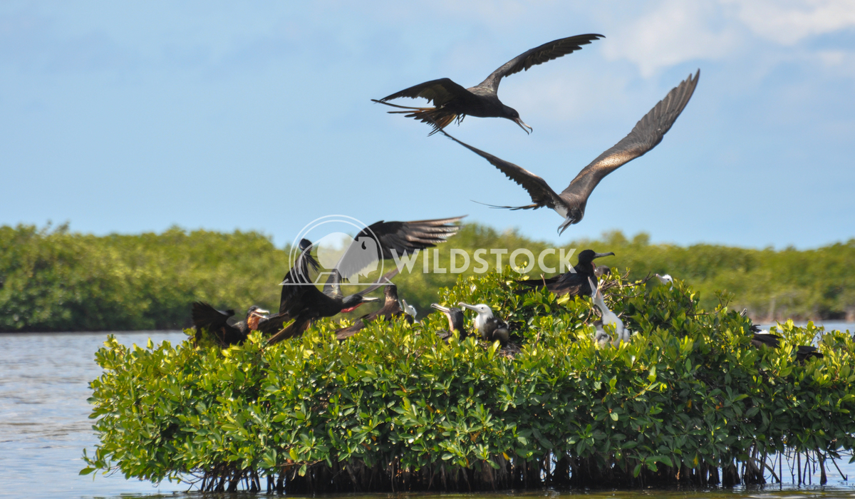 Magnificient Frigatebirds (Fregata magnificens) Landing at Nest With Stick for Nest Justin Dutcher Frigate Bird Colony,