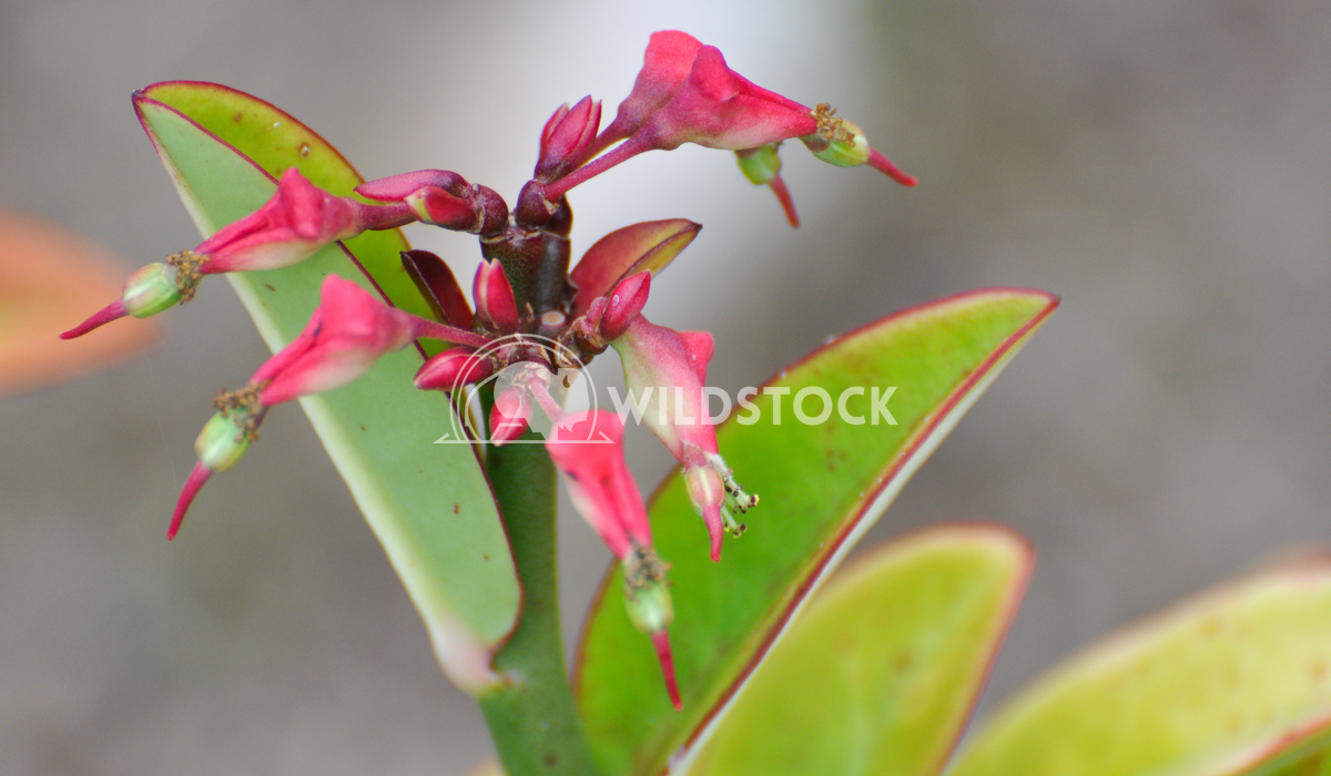 Pink Flower/Plant Growing on Barbuda Island Justin Dutcher