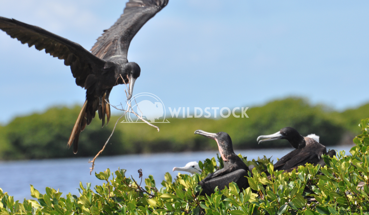 Magnificient Frigatebird (Fregata magnificens) Landing at Nest with Stick - Close up Justin Dutcher Frigate Bird Colony,