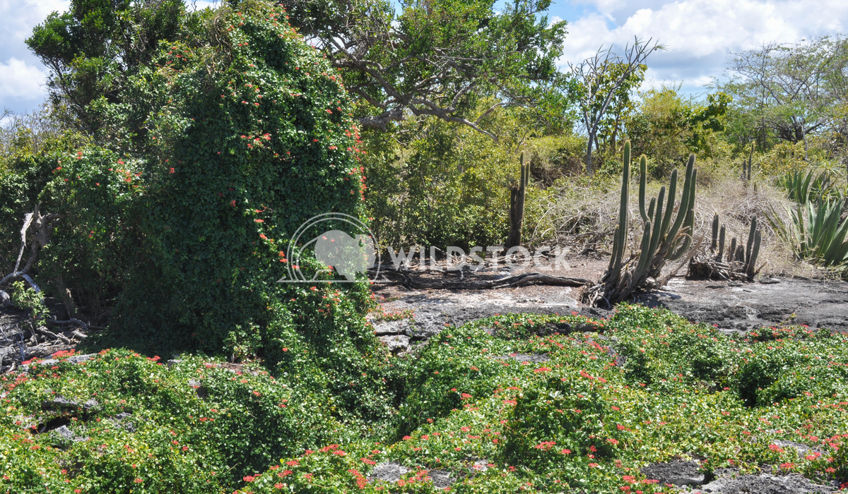 Cactus and Vine with Red Flowers Growing on Desert Landscape in Barbuda Justin Dutcher