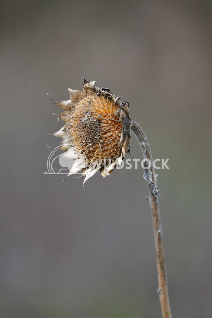 decaying Sunflower Jane Hewitt decaying Sunflower