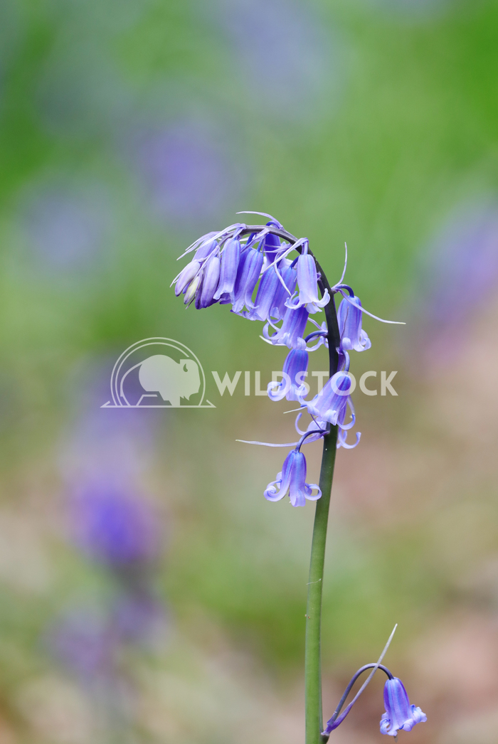 Single bluebell Jane Hewitt Single bluebell