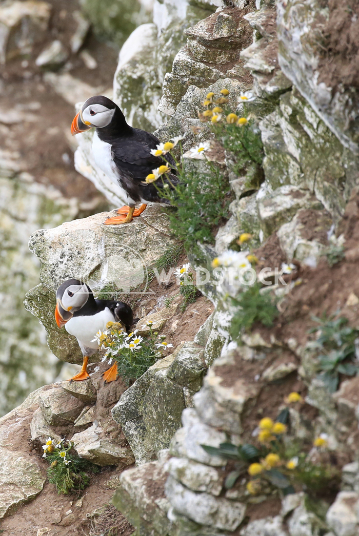 Puffins on a cliff Jane Hewitt  Two Puffins on a cliff with gorse
