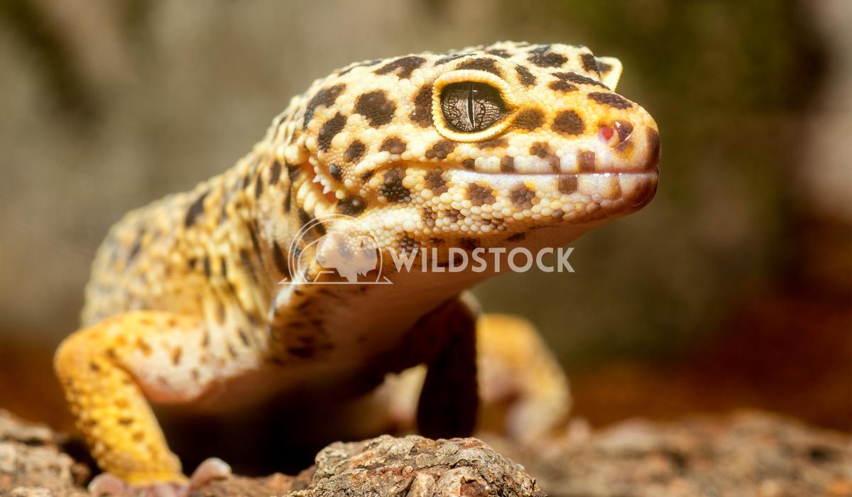 Gecko portrait Jiri Plistil