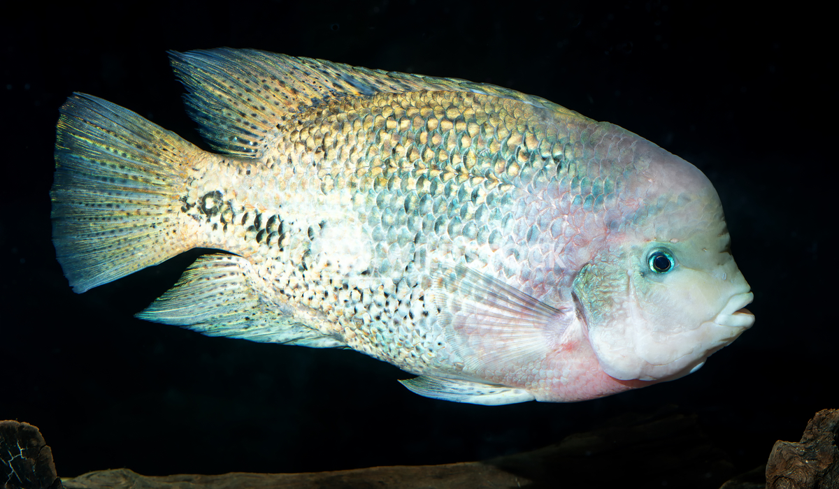 Cichlid fish Jiri Plistil