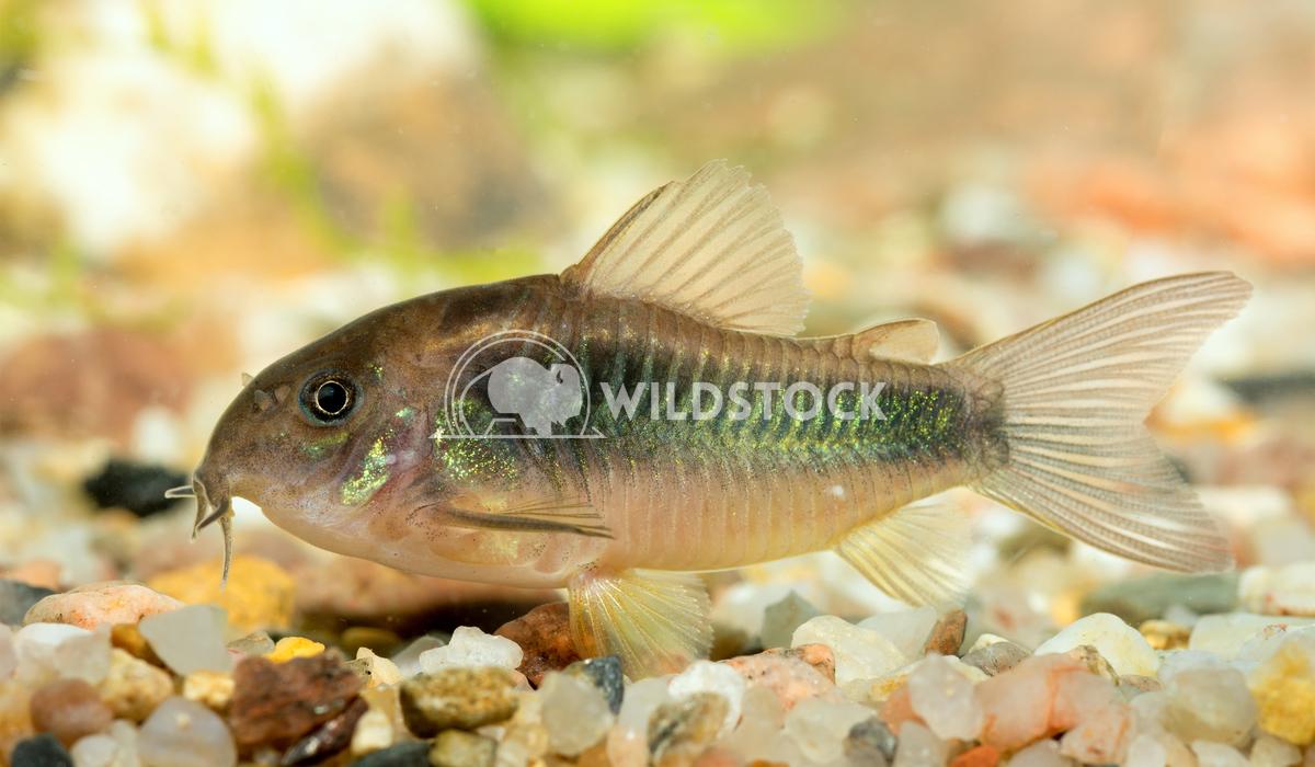Corydoras fish Jiri Plistil
