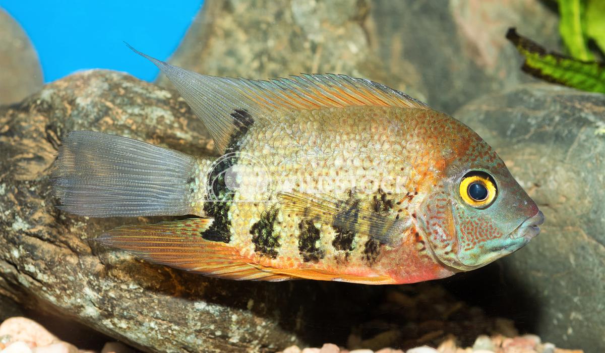 Cichlid fish from genus Heros Jiri Plistil