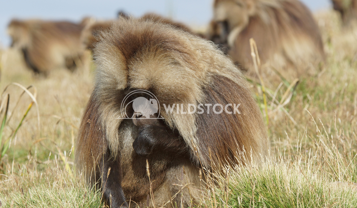 Gelada, Semien Mountains, Ethiopia, Africa 1 Alexander Ludwig Gelada, Semien Mountains National Park, Ethiopia, Africa