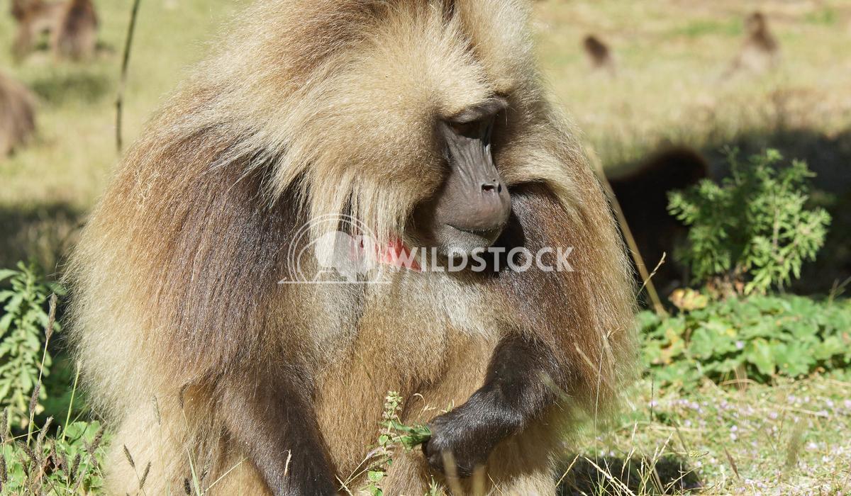 Gelada, Semien Mountains, Ethiopia, Africa 2 Alexander Ludwig Gelada, Semien Mountains National Park, Ethiopia, Africa