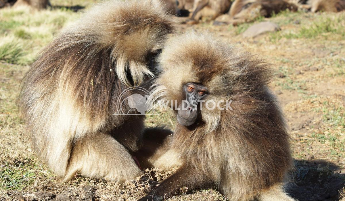 Gelada, Semien Mountains, Ethiopia, Africa 5 Alexander Ludwig Gelada, Semien Mountains National Park, Ethiopia, Africa