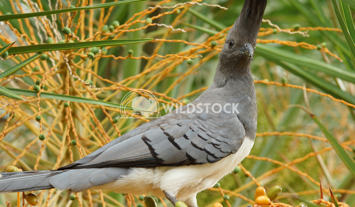 Go-away-bird, Ethiopia, Africa 1 Alexander Ludwig White-bellied Go-away-bird, Ethiopia, Africa
