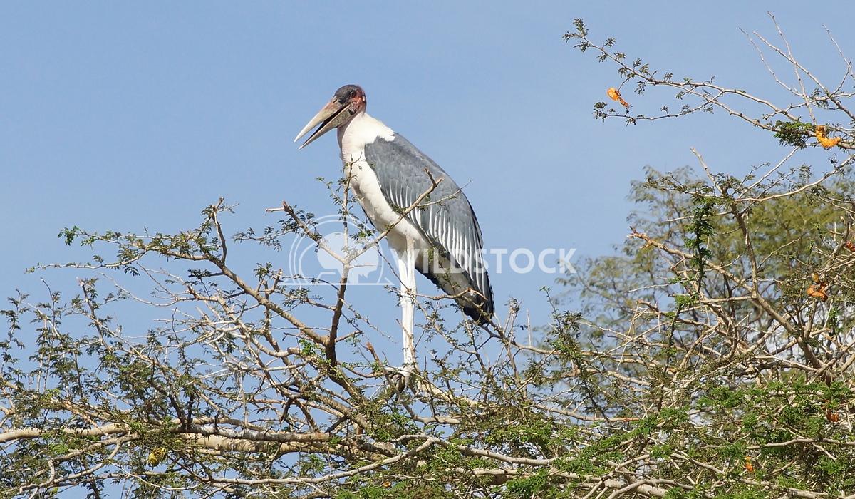 Marabou Stork, Awassa, Ethiopia, Africa 1 Alexander Ludwig Marabou Stork, Awassa, Great Rift Valley, Ethiopia, Africa