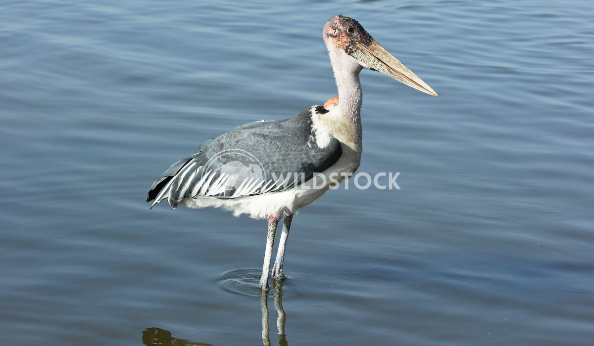 Marabou Stork, Awassa, Ethiopia, Africa 3 Alexander Ludwig Marabou Stork, Awassa, Great Rift Valley, Ethiopia, Africa
