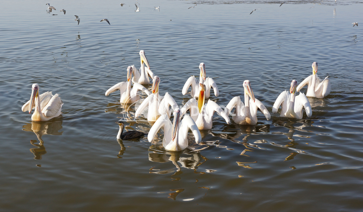 Pelican, Awassa, Ethiopia, Africa 1 Alexander Ludwig Great White Pelicans on Lake Awassa, Ethiopia, Africa