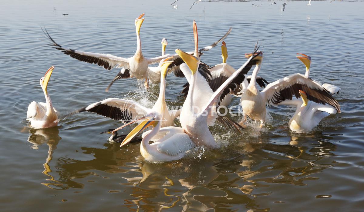 Pelican, Awassa, Ethiopia, Africa 2 Alexander Ludwig Great White Pelicans on Lake Awassa, Ethiopia, Africa