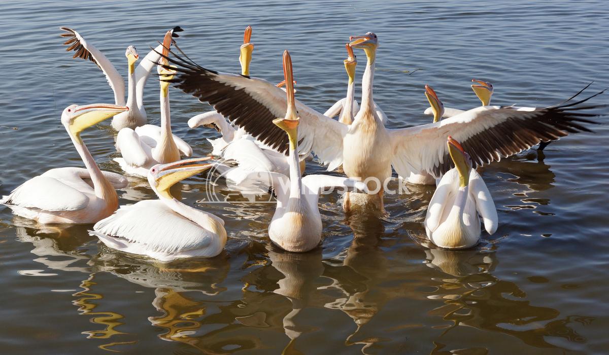 Pelican, Awassa, Ethiopia, Africa 3 Alexander Ludwig Great White Pelicans on Lake Awassa, Ethiopia, Africa