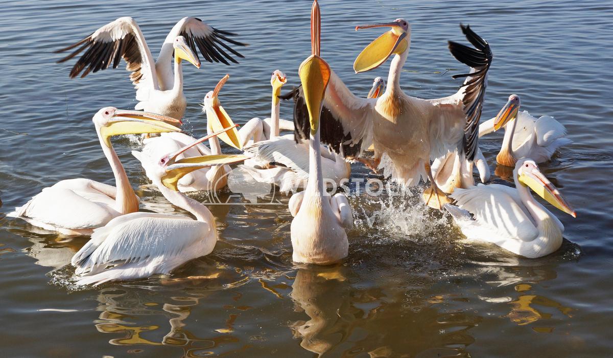 Pelican, Awassa, Ethiopia, Africa 4 Alexander Ludwig Great White Pelicans on Lake Awassa, Ethiopia, Africa
