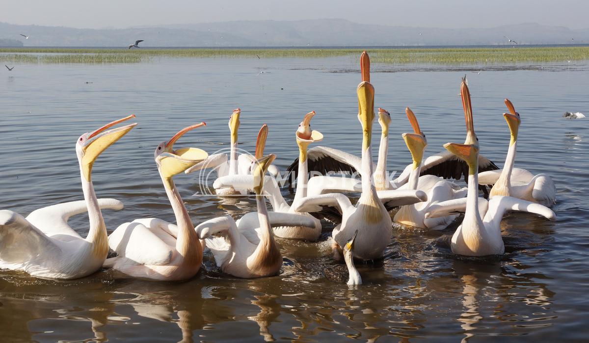 Pelican, Awassa, Ethiopia, Africa 6 Alexander Ludwig Great White Pelicans on Lake Awassa, Ethiopia, Africa