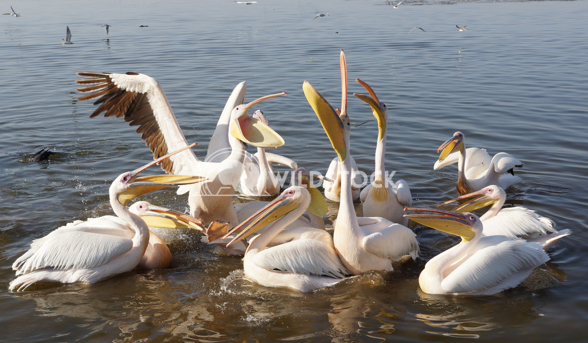 Pelican, Awassa, Ethiopia, Africa 5 Alexander Ludwig Great White Pelicans on Lake Awassa, Ethiopia, Africa
