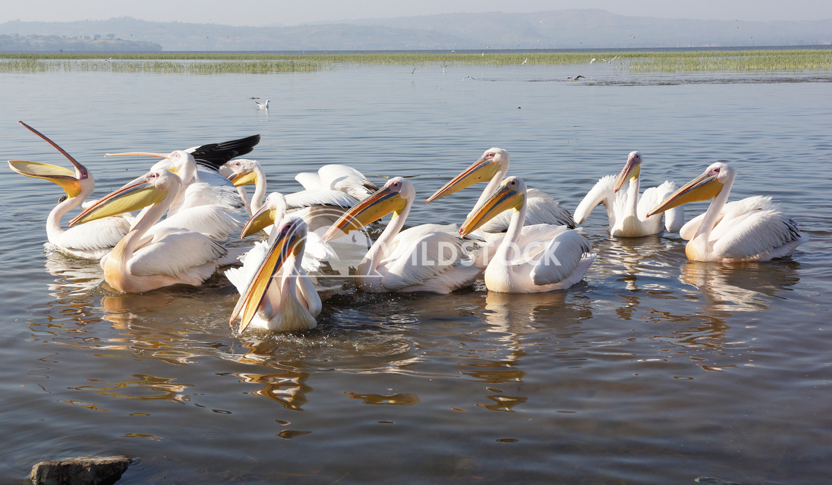 Pelican, Awassa, Ethiopia, Africa 7 Alexander Ludwig Great White Pelicans on Lake Awassa, Ethiopia, Africa