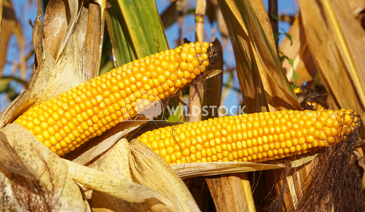 Corncob, Zea mays 2 Alexander Ludwig Corncob, Zea mays, fruits of autumn ready to reap