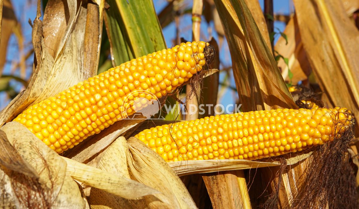 Corncob, Zea mays 2 Alexander Ludwig Corncob, Zea mays, fruits of autumn ready to reap